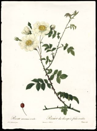 Rosa arvensis ovata / Rosier des champs à fruits ovoïdes [Field Rose]. After Pierre-Joseph...