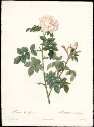 Rose Orbessanea. After Pierre-Joseph REDOUT&Eacute