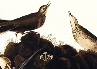 "Brown Titlark. From ""The Birds of America"" (Amsterdam Edition)"