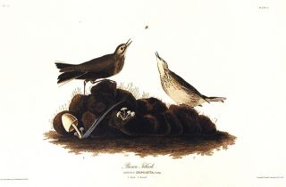 "Brown Titlark. From ""The Birds of America"" (Amsterdam Edition). John James AUDUBON"