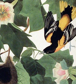 "Baltimore Oriole. From ""The Birds of America"" (Amsterdam Edition)"