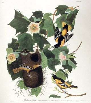 "Baltimore Oriole. From ""The Birds of America"" (Amsterdam Edition). John James AUDUBON"