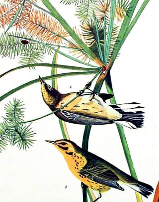 """Prairie Warbler. From """"The Birds of America"""" (Amsterdam Edition)"""
