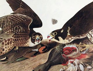 "Great-footed Hawk. From ""The Birds of America"" (Amsterdam Edition)"