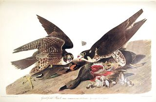 "Great-footed Hawk. From ""The Birds of America"" (Amsterdam Edition). John James AUDUBON"