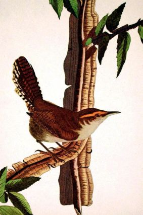 """Bewick's Wren. From """"The Birds of America"""" (Amsterdam Edition)"""