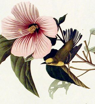 """Blue-winged Yellow Warbler. From """"The Birds of America"""" (Amsterdam Edition)"""
