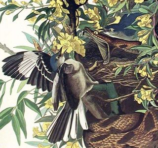 "Mocking Bird. From ""The Birds of America"" (Amsterdam Edition)"
