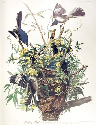 "Mocking Bird. From ""The Birds of America"" (Amsterdam Edition). John James AUDUBON"