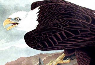 "White-headed Eagle. From ""The Birds of America"" (Amsterdam Edition). John James AUDUBON"