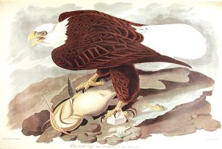"White-headed Eagle. From ""The Birds of America"" (Amsterdam Edition)"