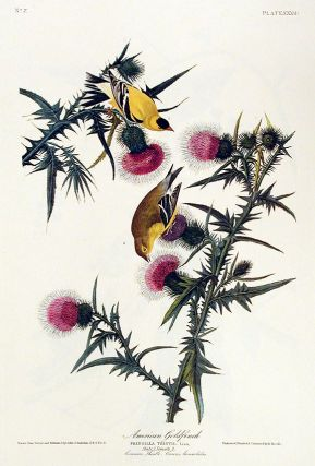 "American Goldfinch. From ""The Birds of America"" (Amsterdam Edition). John James AUDUBON"