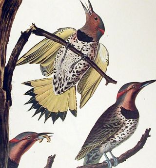 "Golden-winged Woodpecker. From ""The Birds of America"" (Amsterdam Edition)"