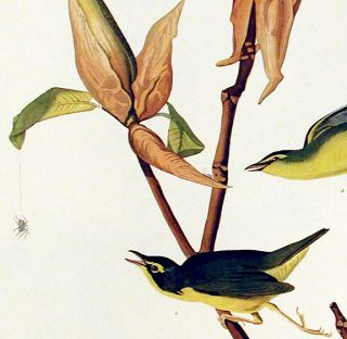 "Kentucky Warbler. From ""The Birds of America"" (Amsterdam Edition)"