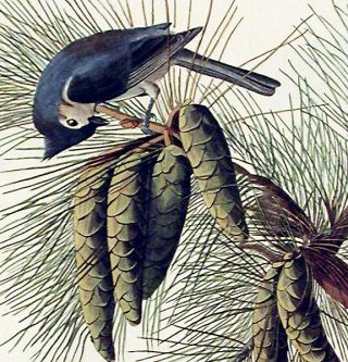 "Crested Titmouse. From ""The Birds of America"" (Amsterdam Edition)"