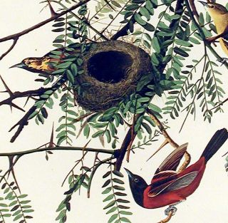 "Orchard Oriole. From ""The Birds of America"" (Amsterdam Edition)"