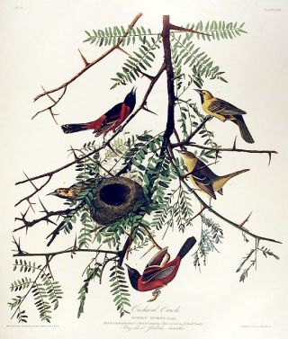 "Orchard Oriole. From ""The Birds of America"" (Amsterdam Edition). John James AUDUBON"