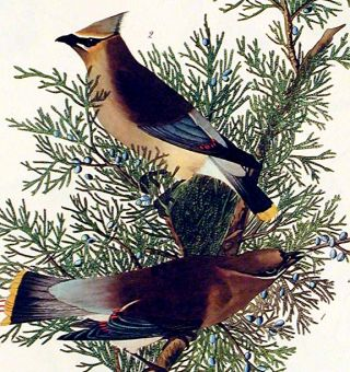 "Cedar Bird. From ""The Birds of America"" (Amsterdam Edition)"