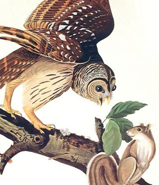 """Barred Owl. From """"The Birds of America"""" (Amsterdam Edition)"""