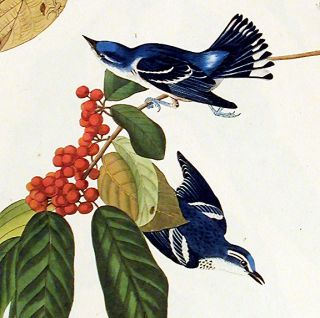 "Azure Warbler. From ""The Birds of America"" (Amsterdam Edition)"