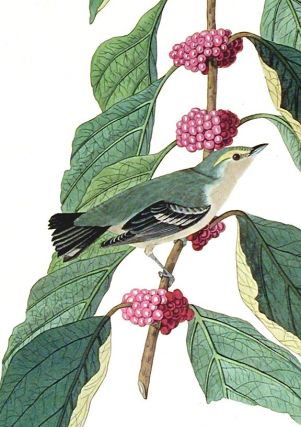"Blue-green Warbler. From ""The Birds of America"" (Amsterdam Edition)"