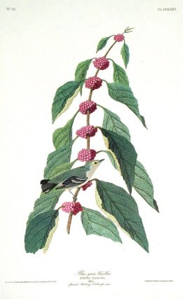 "Blue-green Warbler. From ""The Birds of America"" (Amsterdam Edition). John James AUDUBON"