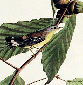 """Black and Yellow Warbler. From """"The Birds of America"""" (Amsterdam Edition)"""
