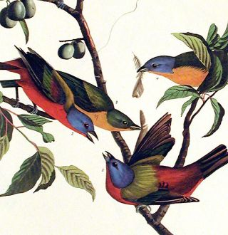 "Painted Finch. From ""The Birds of America"" (Amsterdam Edition)"