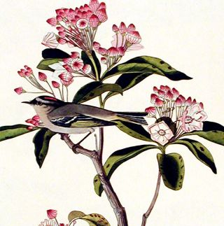 """Cuvier's Regulus. From """"The Birds of America"""" (Amsterdam Edition)"""