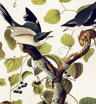 "Loggerhead Shrike. From ""The Birds of America"" (Amsterdam Edition)"
