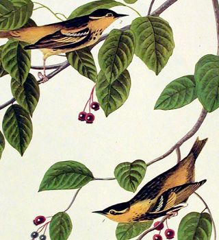 "Carbonated Warbler. From ""The Birds of America"" (Amsterdam Edition)"