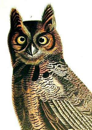 "Great Horned Owl. From ""The Birds of America"" (Amsterdam Edition)"