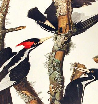 "Ivory-billed Woodpecker. From ""The Birds of America"" (Amsterdam Edition)"