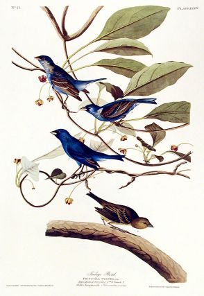 "Indigo Bird. From ""The Birds of America"" (Amsterdam Edition). John James AUDUBON"