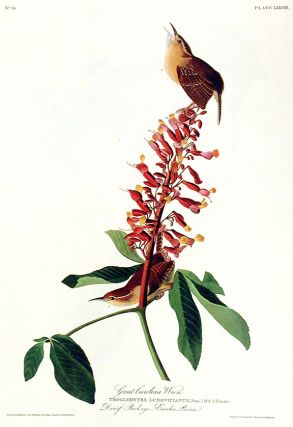 "Great Carolina Wren. From ""The Birds of America"" (Amsterdam Edition). John James AUDUBON"