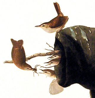 "House Wren. From ""The Birds of America"" (Amsterdam Edition)"