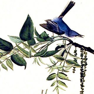 """Blue-grey Fly-catcher. From """"The Birds of America"""" (Amsterdam Edition)"""
