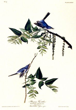 "Blue-grey Fly-catcher. From ""The Birds of America"" (Amsterdam Edition). John James AUDUBON"