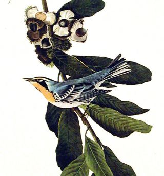 "Yellow Throated Warbler. From ""The Birds of America"" (Amsterdam Edition)"