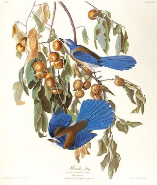 "Florida Jay. From ""The Birds of America"" (Amsterdam Edition). John James AUDUBON"