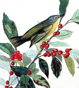 """Nashville Warbler. From """"The Birds of America"""" (Amsterdam Edition)"""