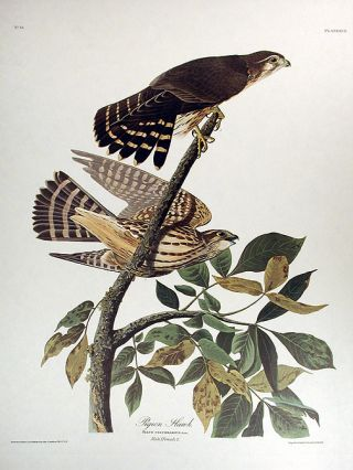 "Pigeon Hawk. From ""The Birds of America"" (Amsterdam Edition). John James AUDUBON"