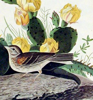 "Grass Finch or Bay-winged Bunting. From ""The Birds of America"" (Amsterdam Edition)"