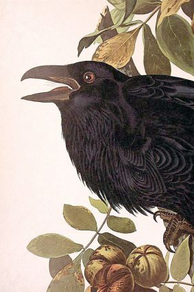 """Raven. From """"The Birds of America"""" (Amsterdam Edition)"""
