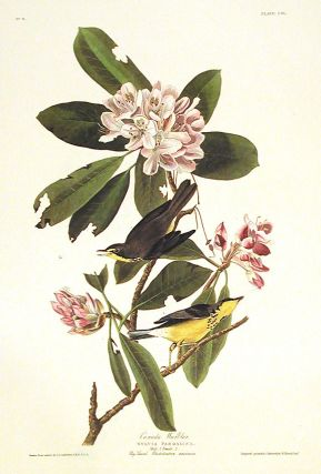 "Canada Warbler. From ""The Birds of America"" (Amsterdam Edition). John James AUDUBON"