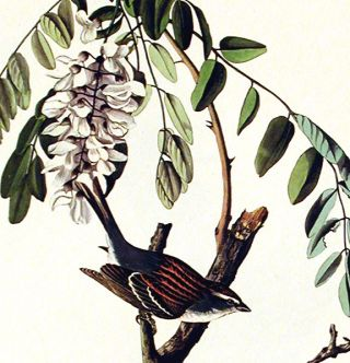 """Chipping Sparrow. From """"The Birds of America"""" (Amsterdam Edition)"""