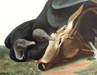 """Black Vulture or Carrion Crow. From """"The Birds of America"""" (Amsterdam Edition)"""