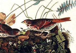 """Fox-coloured Sparrow. From """"The Birds of America"""" (Amsterdam Edition)"""
