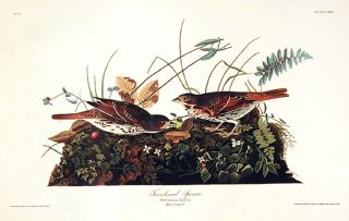 "Fox-coloured Sparrow. From ""The Birds of America"" (Amsterdam Edition). John James AUDUBON"