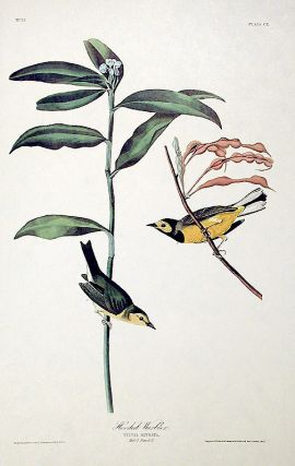 """Hooded Warbler. From """"The Birds of America"""" (Amsterdam Edition)"""